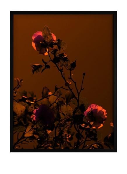 DEMOCRATIC GALLERY Poster ROSE, Farbe: ROT (Bild 1)